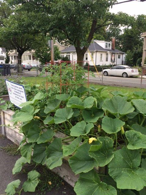 MCG Garden Squash